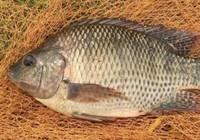 罗非鱼之饵料的选择技巧