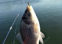野钓技巧之如何垂钓诚博国际、鲤鱼