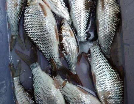 筏钓土鲮(三)风雨无阻 自制饵料钓鲮鱼