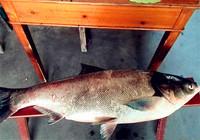 夏季浮钓鲢鳙必备的饵料配方制作流程
