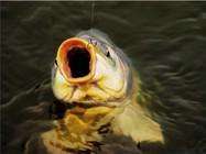 用老渔民的方法钓鲤鱼 一钓一个准!