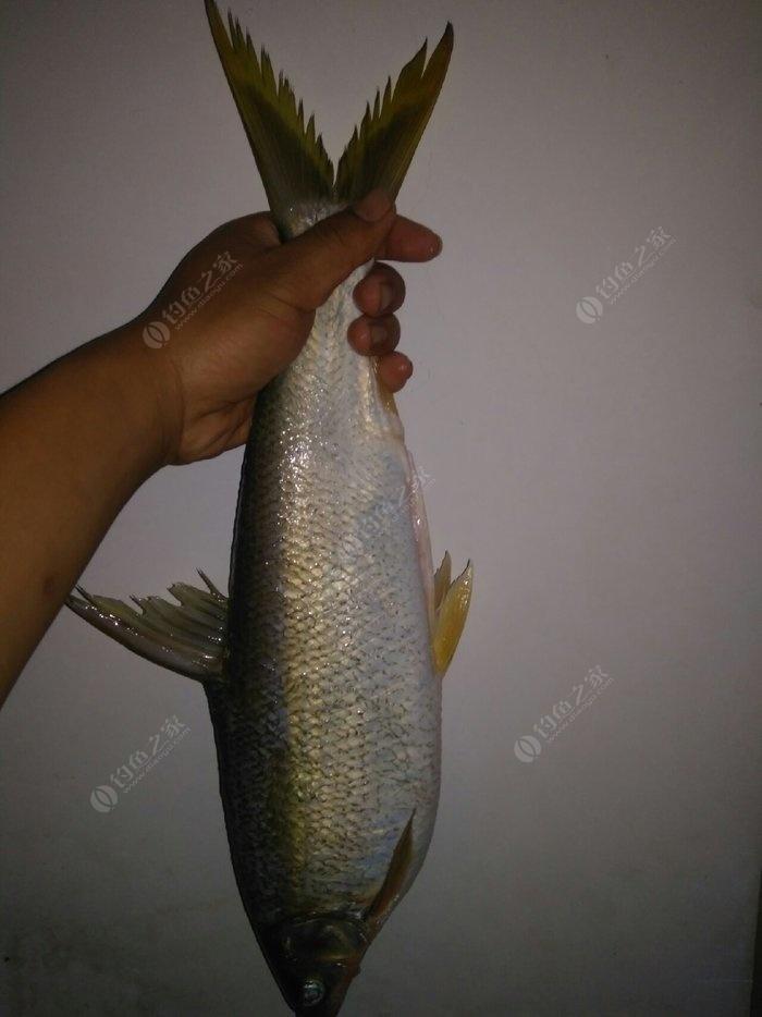 鲴鱼的钓法_垂钓黄尾鲴用什么饵料,怎么调漂 - 钓鱼之家