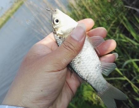 見縫插針玩一陣,小鯽戲鉤也開心 紅蟲餌料釣鯽魚