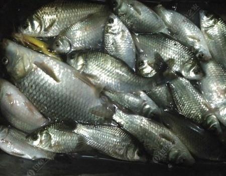 五月十二日夜釣鯽魚
