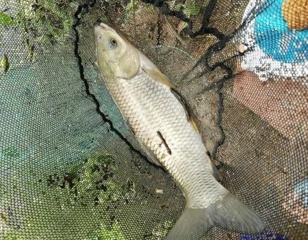〔流溪河〕不知名河段 钓鱼之家饵料钓罗非鱼