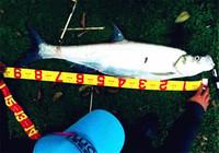 翹嘴魚的實戰釣法與餌料選擇