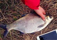 夏季江钓鳊鱼都会用到哪些技巧?