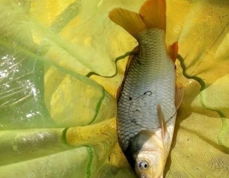 跳河里追竿子,平生第一次 老鬼饵料钓鲢鳙鱼