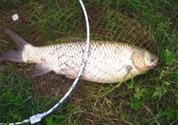 垂钓草鱼技巧的钓法详细解析
