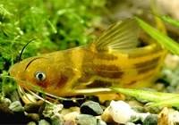 夏季晚上钓黄颡鱼的必备技巧