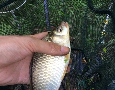 釣河~走水~還是傳統釣七星漂靠譜 蚯蚓餌料釣鯽魚