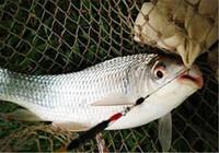 这样钓鲮鱼才是最正确的 你学会了吗?