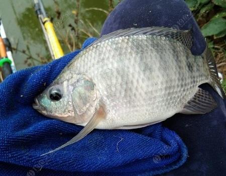 鱼塘垂钓记第一篇――冒雨守大鱼,可惜都是罗非鱼。