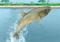 夏季钓草鱼的应对技巧