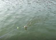 《麦子钓鱼》鳊鱼的习性和钓法