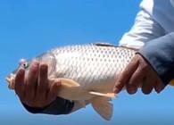 《麦子钓鱼》鲤鱼习性和鲤鱼钓法