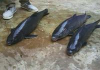 野釣青魚經驗總結 你還不如學學嘛?