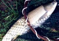 你不可不知的夏季钓草鱼技巧