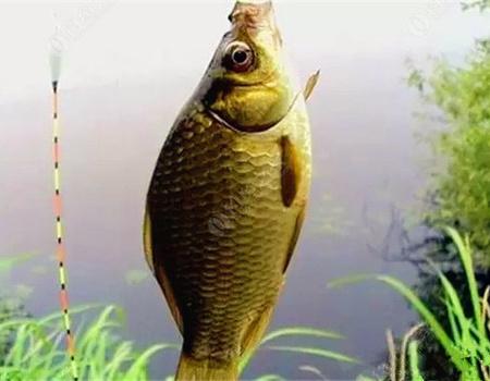 夏季微風天鯽魚吃鉤漂相,湖庫作釣的釣友可要看清了!
