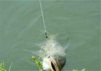 夏季浮钓鲢鳙饵配方状态