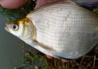 秋季垂钓鳊鱼用饵与打窝思路