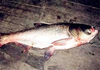 如何配置适合不同水情的钓鲢鳙饵料配方
