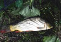 初春钓鲤鱼用饵类型与用饵状态