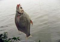 鳊鱼春季作钓心得与技巧