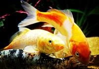 浅谈野钓鲤鱼用什么饵及如何使用