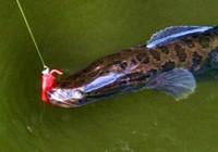 民间钓法之钓黑鱼的作钓技巧